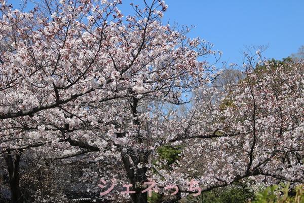 玉敷の桜 2019年4月
