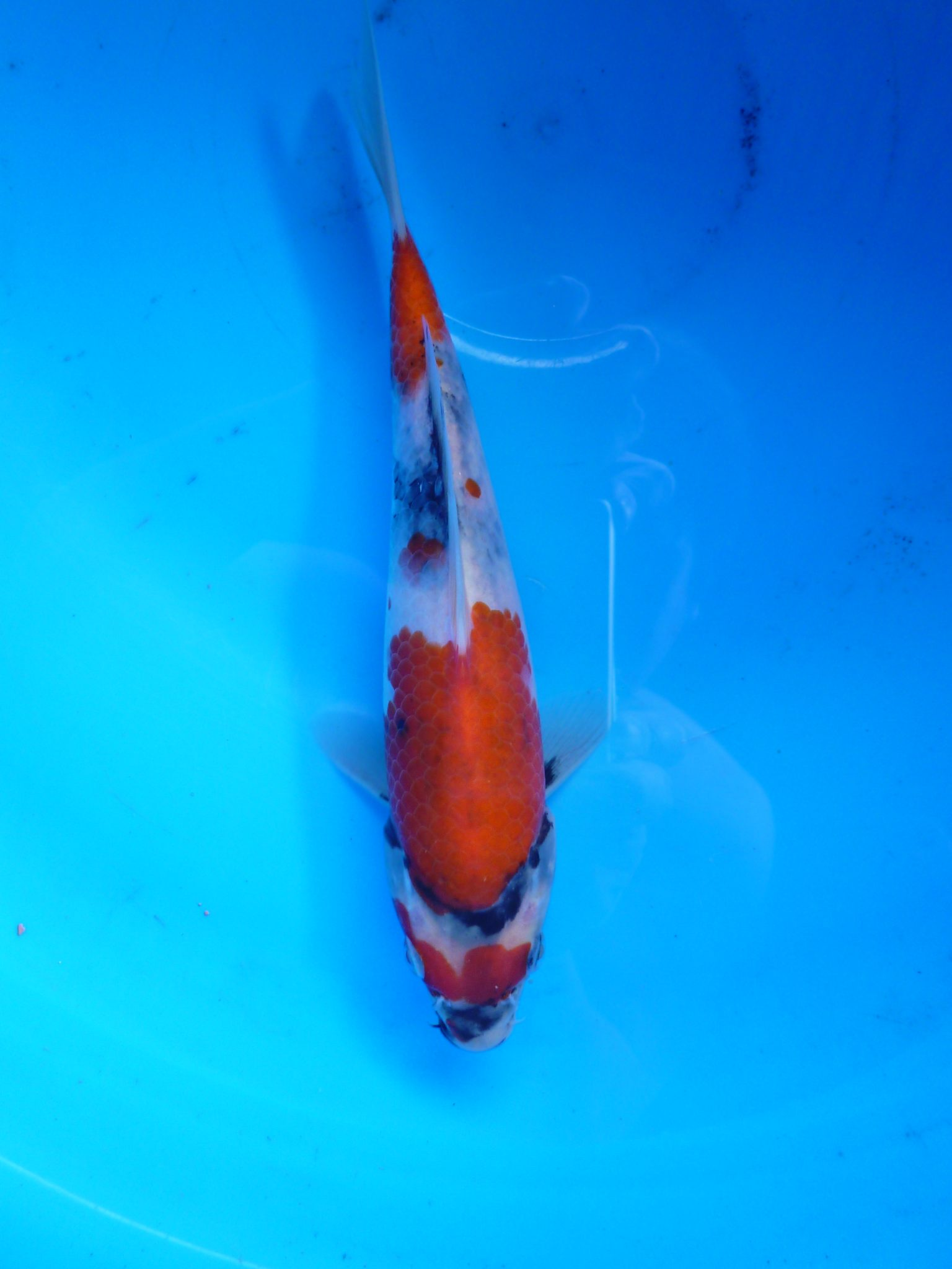 Marugen Showa Koi @ 5 months old – Japanese Koi Fish For