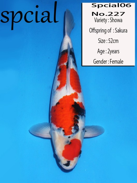Dainichi Koi Farm Auction 2013 No. 227 Dainichi Showa  Offspring of Sakura Nisai, Female Size: 52cm