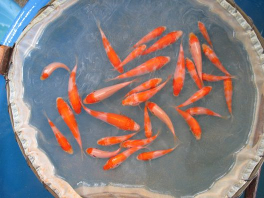 "Baby Kohaku Koi Fishes at 1 month old Offspring of ""M Tanchozuru"" Female Oyagoi ""M Tanchozuru"" is a Tancho Kohaku bred by Sakai Fish Farm Product of Marugen Koi Farm, Singapore"