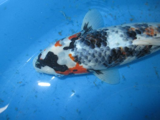 "Unique Kawarimono Koi Fish For Sale In Singapore Offspring of ""Autumn Cosmos Ochiba"" Product of Marugen Koi Farm, Singapore"