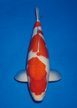 No. 08 Male Kohaku 56cm Momotaro Koi Farm Auction