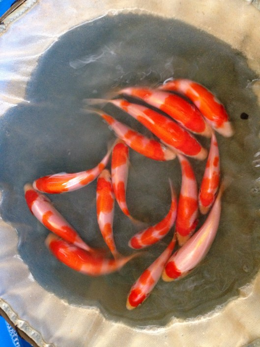 "Baby Kohaku Koi Fishes at 2 months old Offspring of ""M Tanchozuru"" Female Oyagoi ""M Tanchozuru"" is a Tancho Kohaku bred by Sakai Fish Farm Product of Marugen Koi Farm, Singapore"