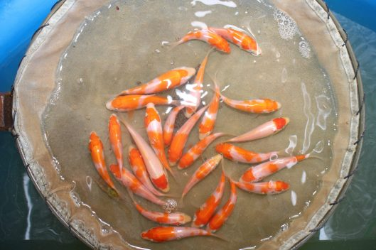 Marugen Koi Farm - Baby Kohaku Koi Fishes @ 1.5 Months Old