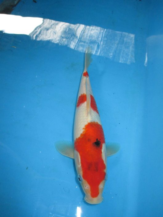 Marugen Koi Farm - Taisho Sanke Koi For Sale In Singapore  (12)