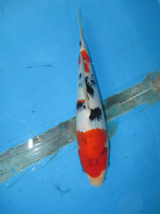 "Taisho Sanke Koi For Sale In Singapore Offspring of ""M Tanchozuru"" Female Oyagoi ""M Tanchozuru"" is a Tancho Kohaku bred by Sakai Fish Farm Product of Marugen Koi Farm, Singapore"