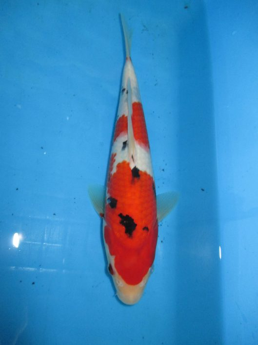 Marugen Koi Farm - Taisho Sanke Koi For Sale In Singapore  (2)