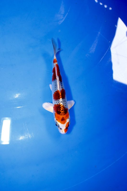 "Kuchibeni 5-Steps Kujaku Offspring pf ""J Blessing"" Bred by Marugen Koi Farm"