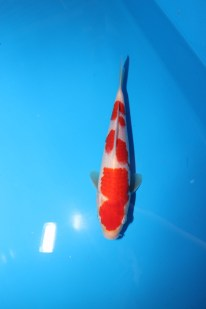 "Kohaku Tategoi Offspring of ""Ms MK"" Bred by Marugen Koi Farm"