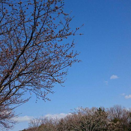 【桜便り】  事務所前の桜も少しづつ開花が始まりました。今日は快晴で気持ちのいい1日です。