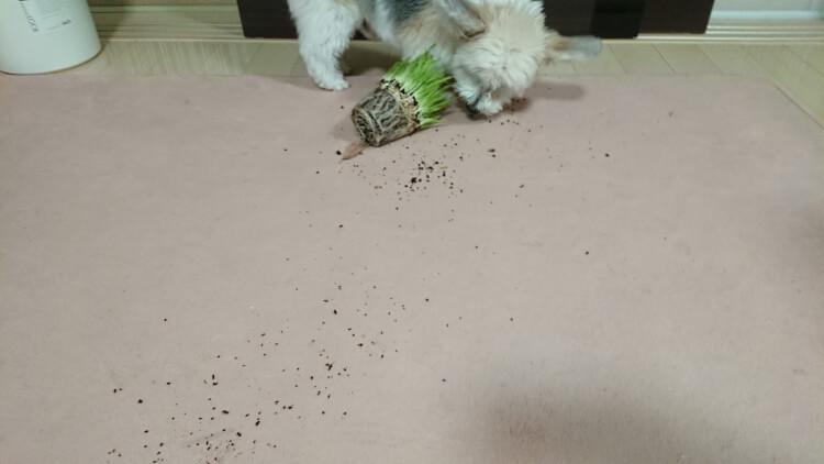猫草引っ張ってカーペット汚すミックス犬