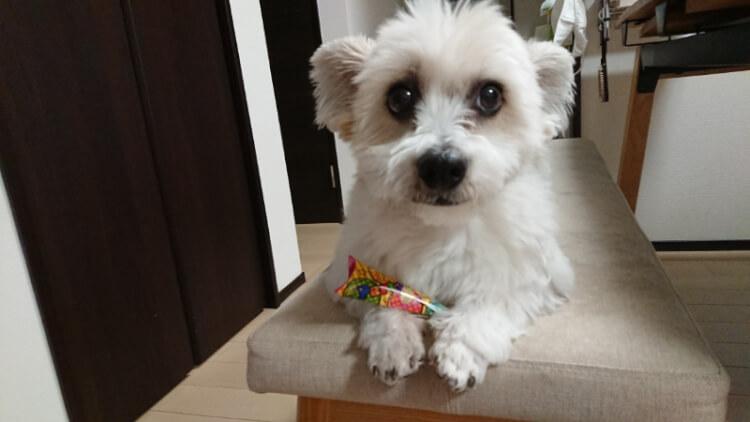 ソファーの上のマルパピ犬