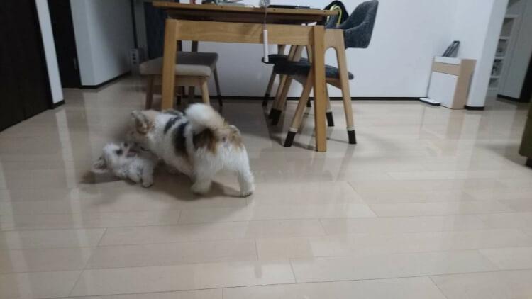 ミックス犬同士で遊ぶ写真