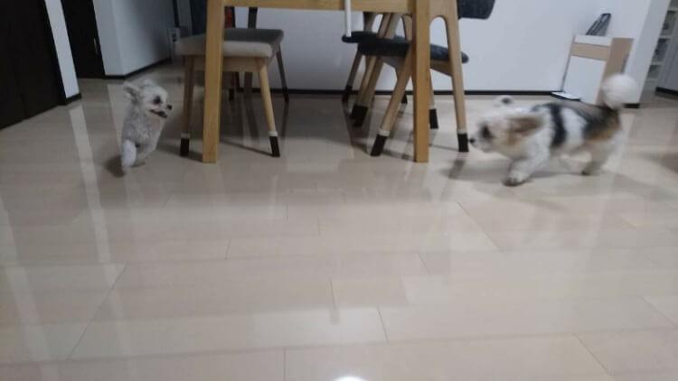 家の中で追いかけっこするマルパピ犬