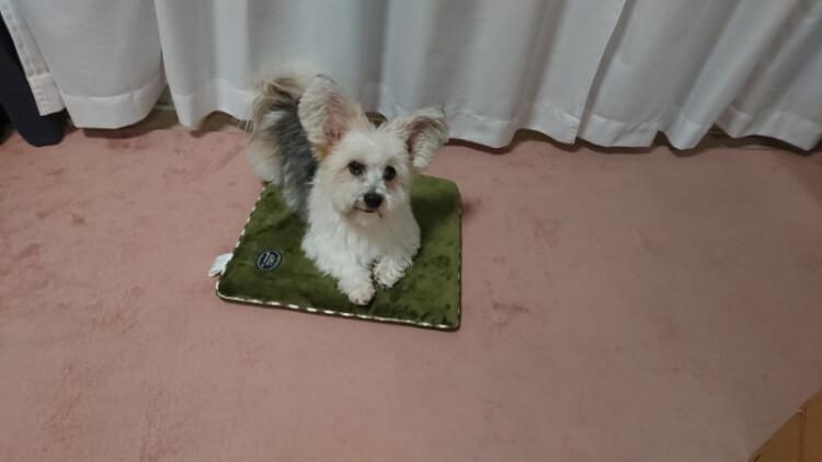 誕生日プレゼントの座布団とミックス犬