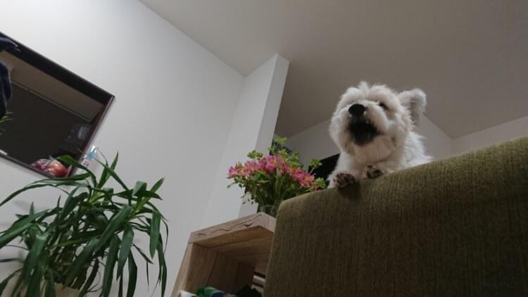 ソファーに座って吠えるミックス犬