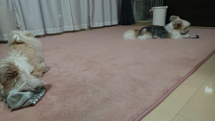 お父さんの靴下の匂いを嗅ぐ2匹の犬