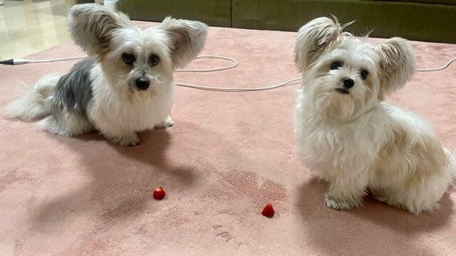 イチゴ初体験のミックス犬