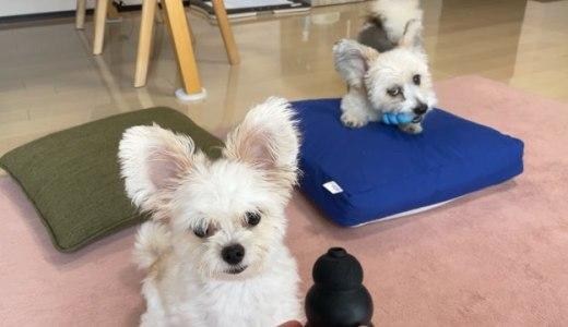 飼い主が出掛ける時に分離不安で吠える犬にはおもちゃのコング