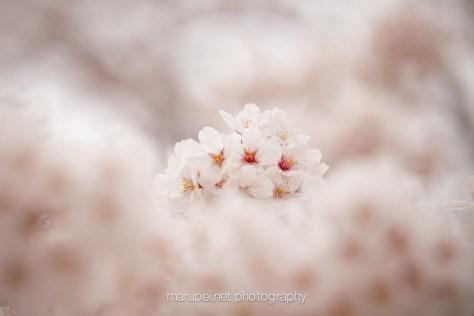 2015 桜