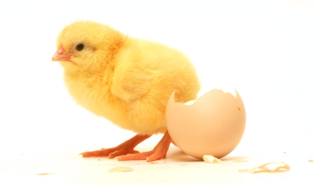 fresh-chick-with-egg-shell
