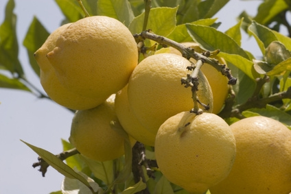 Lemon Tree, Oh Lemon Tree