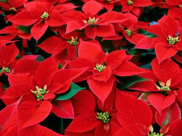 5 Festive Winter Plants