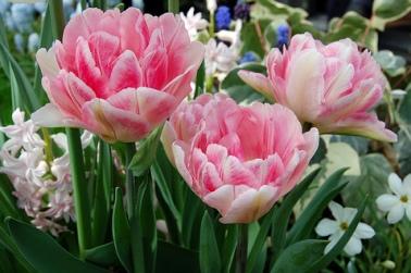 3 Great Tulip Varieties For Your Spring Garden
