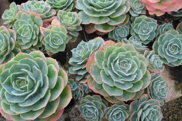 Succulents and Sedum