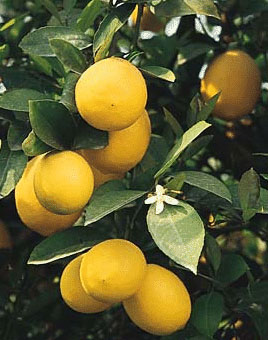 Grow your own Meyer Lemon Tree