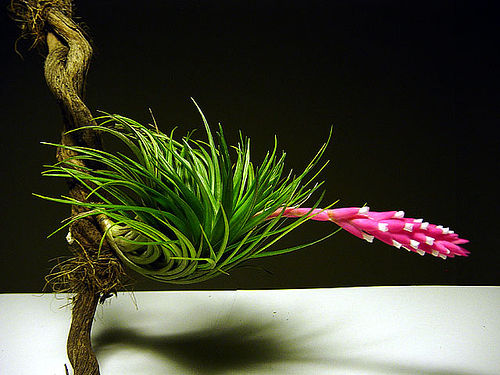 How to care for tillandsia plants