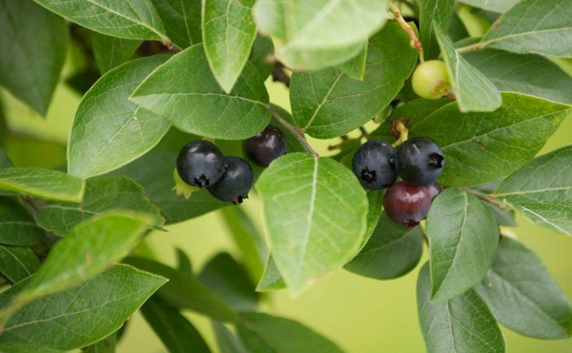 Blueberry Bushes for Summer Harvest