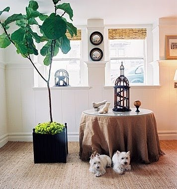 Caring for a Fiddle Leaf Fig Tree