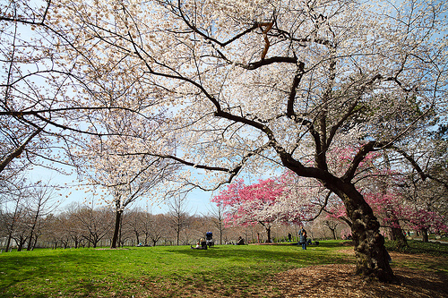 A Centennial Celebration of the National Cherry Blossom Festival!