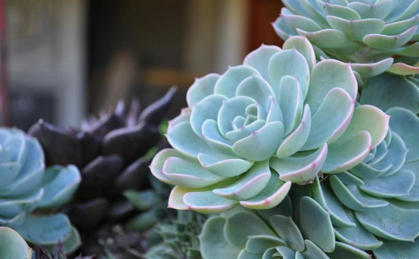 Succulent Spotlight: Echeveria