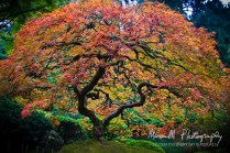 Wonderful tree at the Japanese Gardens, Everybody takes a picture