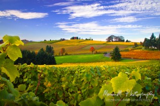 Dundee, Oregon; The Red Hills of Dundee vineyards turn to full color in October
