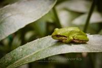 tree frog, frog, pacific treefrog