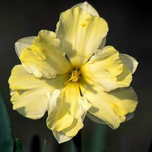 Division 11a Split corona collar daffodil - Cassata