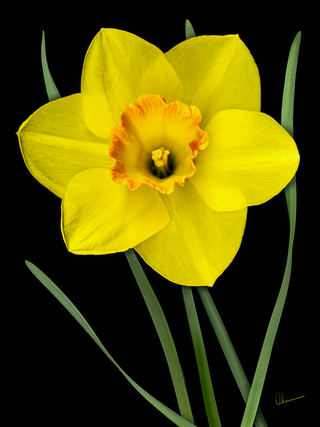 Single Yellow Daffodil. Art print by Mary Ahern the Artist.