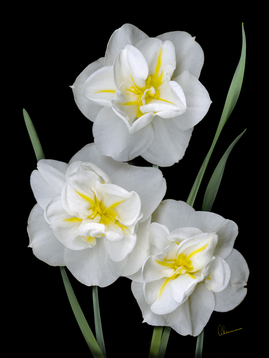 White Daffodil Trio by the artist, Mary Ahern