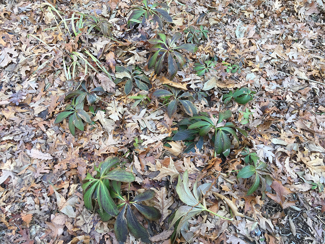 February Hellebores ready for trimming. Mary Ahern