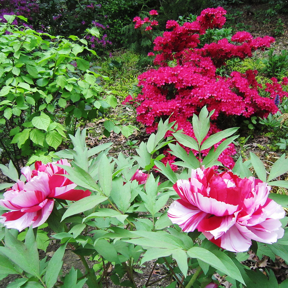 Mary Ahern - Azaleas and Tree Peony in my garden