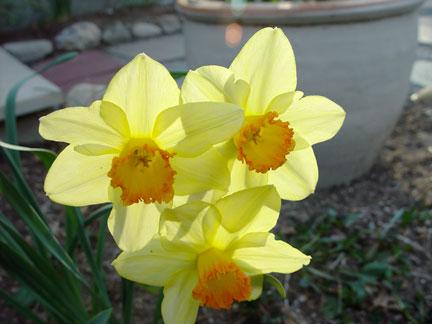 Entry Garden Yellow Daffodils