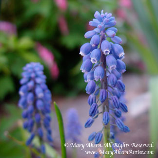 Muscari armeniacum in the garden of the Artist, Mary Ahern