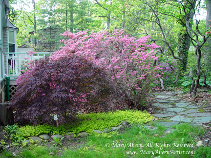 Acer palmatum 'Dissectum' & Azaleas in bloom in the garden of the Artist, Mary Ahern