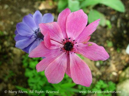 Anemone coronaria in the garden of the Artist, Mary Ahern.