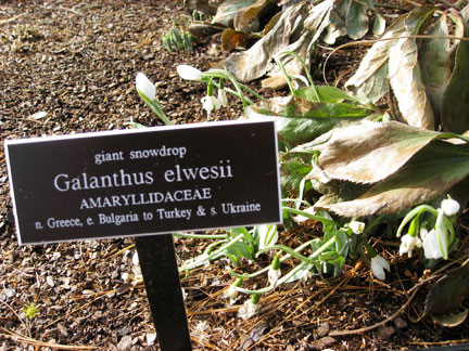 Galanthus elwesii in bloom in the Jane Watson Irwin Perennial Garden, NYBG