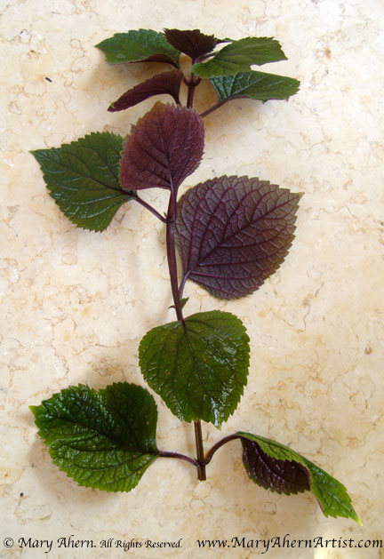 An apical cutting of Plectranthus