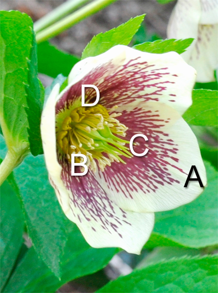 Botany of a Hellebore